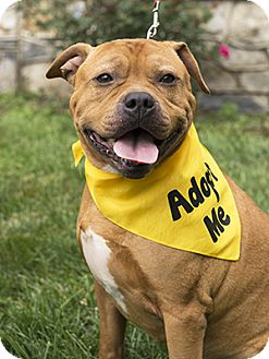Mastiff/Retriever (Unknown Type) Mix Dog for adoption in Silver Spring, Maryland - Snoopy