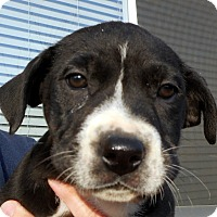 Adopt A Pet :: Baby Bliss - Oakley, CA