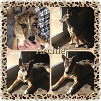Adopt A Pet :: Archie IN CT - Manchester, CT