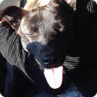 Cattle Dog/Labrador Retriever Mix Dog for adoption in Orangeburg, South Carolina - Arya