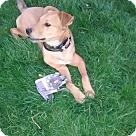 Adopt A Pet :: Sirus