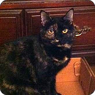 Domestic Shorthair Cat for adoption in Cleveland, Ohio - Mi Mi