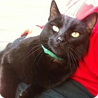 Domestic Shorthair Cat for adoption in Decatur, Georgia - Binks *Bright-Eyed Buddy*