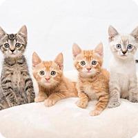 Adopt A Pet :: MORE KITTENS! - Franklin, TN