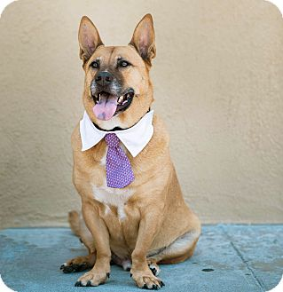 Shepherd (Unknown Type)/Corgi Mix Dog for adoption in Burbank, California - ADOPTION PENDING- Biggie-VIDEO