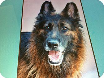 German Shepherd Dog Dog for adoption in Los Angeles, California - ATHENA VON ANNI
