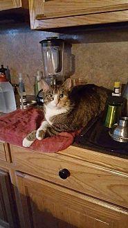 Domestic Shorthair Cat for adoption in Ellenton, Florida - Lucky