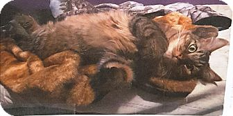 Maine Coon Cat for adoption in brewerton, New York - Haji,  Maine coon