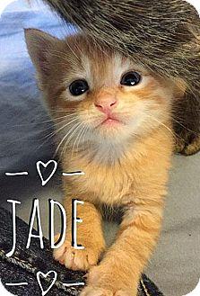 Domestic Shorthair Kitten for adoption in Fort Leavenworth, Kansas - Jade