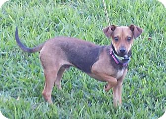 Chihuahua/Yorkie, Yorkshire Terrier Mix Dog for adoption in Lindale, Texas - Wego