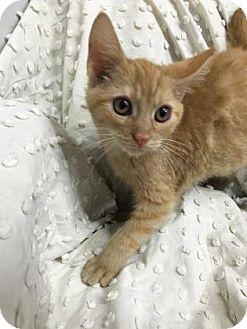 Domestic Shorthair Kitten for adoption in Paducah, Kentucky - Ignocio