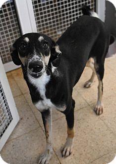 Whippet/Retriever (Unknown Type) Mix Dog for adoption in Wonder Lake, Illinois - JENEVA