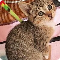 Adopt A Pet :: Dot - Brooklyn, NY