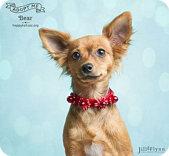 Chihuahua/Terrier (Unknown Type, Small) Mix Puppy for adoption in Chandler, Arizona - Bear