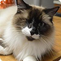 Ragdoll Cat for adoption in Alpharetta, Georgia - Crookshanks