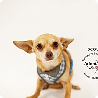 Adopt A Pet :: Scout - Aqua Dulce, CA