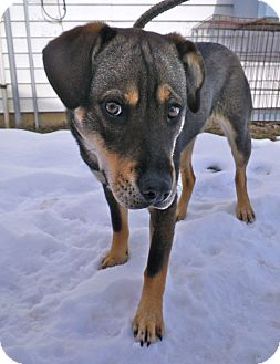 Husky/Shepherd (Unknown Type) Mix Dog for adoption in Metamora, Indiana - Axel