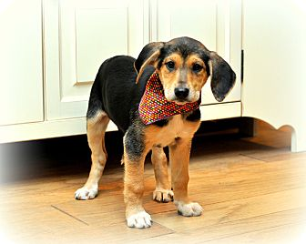 Treeing Walker Coonhound/German Shepherd Dog Mix Puppy for adoption in ...