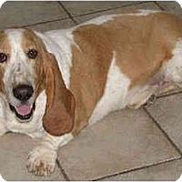 Adopt A Pet :: Potter - Phoenix, AZ