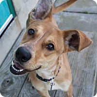 Adopt A Pet :: Missandei - Jersey City, NJ