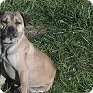 Adopt A Pet :: Pugsy