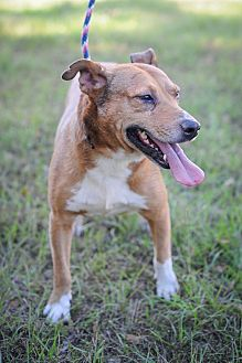 Labrador Retriever Dog for adoption in Jackson, Mississippi - Garrett