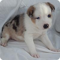 Adopt A Pet :: Trike(5 lb) Blue Eyes/Nub Tail - SUSSEX, NJ