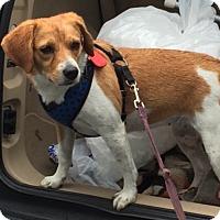 Adopt A Pet :: Rosie COME MEET ME! - Westport, CT