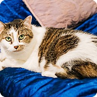 Domestic Shorthair Cat for adoption in Cedar Springs, Michigan - Zena