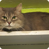 Maine Coon Cat for adoption in Coos Bay, Oregon - Bandon