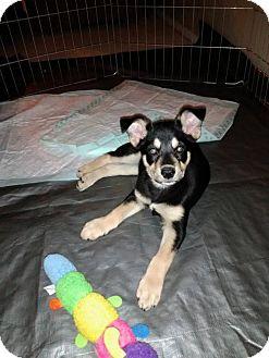 Siberian Husky/Bullmastiff Mix Puppy for adoption in Peralta, New Mexico - **MINNIE
