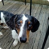 Dachshund/Blue Heeler Mix Dog for adoption in Huntersville, North Carolina - Charlie