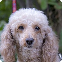 Adopt A Pet :: Brie - Mississauga, ON