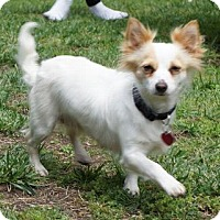 Papillon/Chihuahua Mix Dog for adoption in Pt. Richmond, California - QUENBY aka CURRY