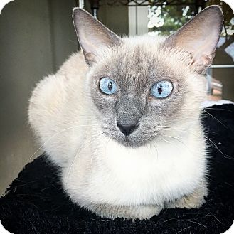 Siamese Cat for adoption in Fredericksburg, Texas - Paige