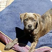 Mastiff/Great Dane Mix Dog for adoption in Fairview Heights, Illinois - Bella