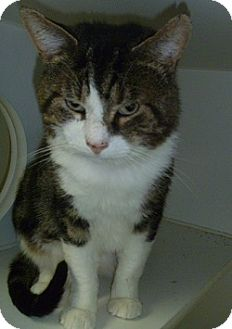 Domestic Shorthair Cat for adoption in Hamburg, New York - Maxwell