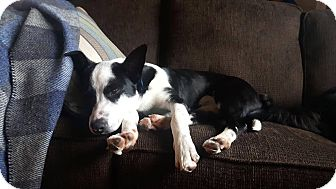 Border Collie/Boxer Mix Dog for adoption in St. Catharines, Ontario - Bentley