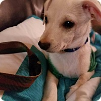 Chihuahua Mix Puppy for adoption in Overland Park, Kansas - Aster