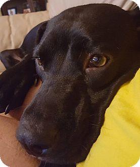 Labrador Retriever Mix Dog for adoption in Jacksonville, Florida - Kayla