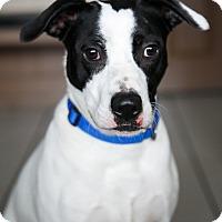 Adopt A Pet :: Sassafras - Marietta, GA