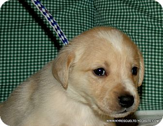 Golden Retriever/Collie Mix Puppy for adoption in Waterbury, Connecticut - MONTY/ADOPTED