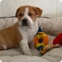 Adopt A Pet :: Boss Hog Pei - Las Vegas, NV