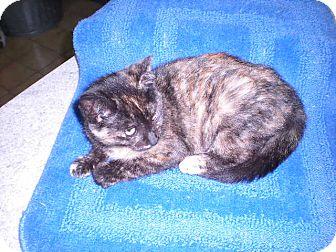 """Calico Kitten for adoption in New Castle, Pennsylvania - """" Sierra """""""
