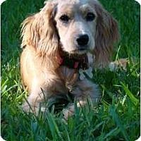 Adopt A Pet :: Seraphena - Sugarland, TX