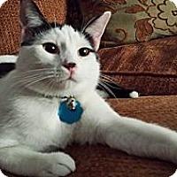 Adopt A Pet :: Falken - Edmond, OK