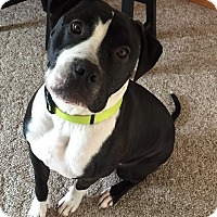 Adopt A Pet :: Soulful Scully - Issaquah, WA
