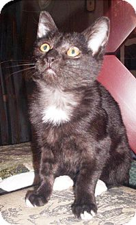 Domestic Shorthair Kitten for adoption in Burlington, Ontario - Juno