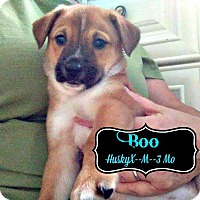 Adopt A Pet :: Boo Adoption pending - East Hartford, CT