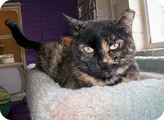 Domestic Shorthair Cat for adoption in Scottsdale, Arizona - Mia